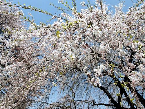 武川枝垂桜、桜のシャワー