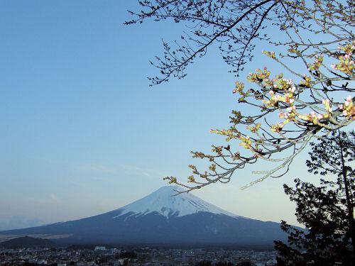 一分咲きの富士見桜
