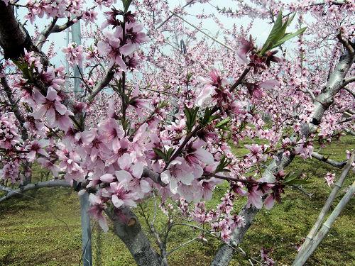 桃の里「御坂」