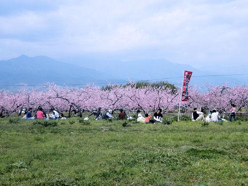 桃の花見in御坂