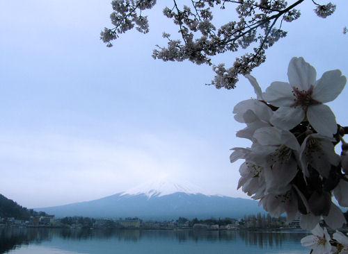 桜満開、雨を呼ぶ河口湖