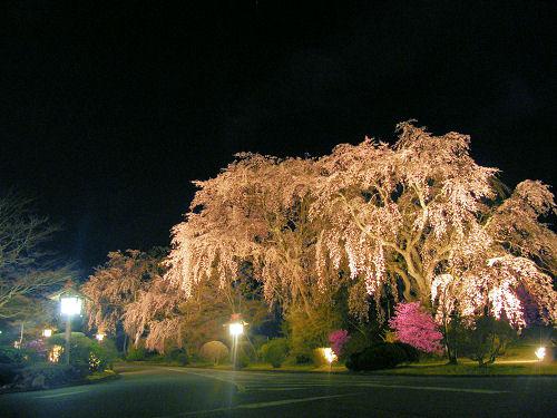 富士ビューホテル枝垂れの夜桜