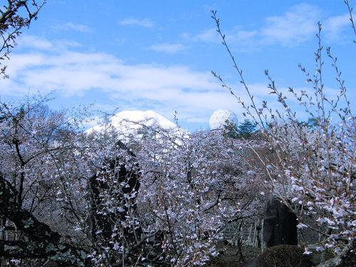 ドームと富士桜