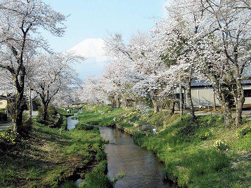 忍野桂川の桜並木
