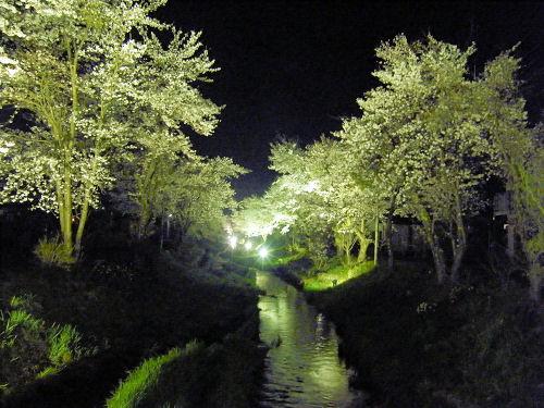 忍野桂川の夜桜