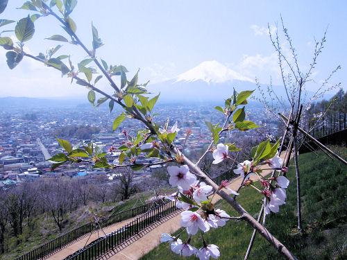 しぶとい桜
