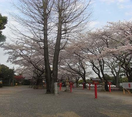 washi jin sakura 20090408 01