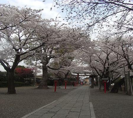 washi jin sakura 20090408 02