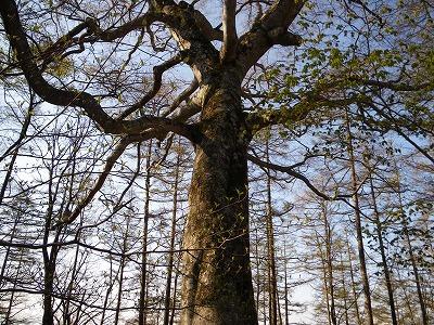 ブナの巨木2