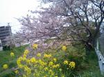 月見町公園横の桜