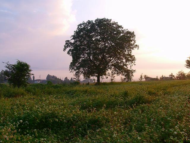 朝の光 そば畑