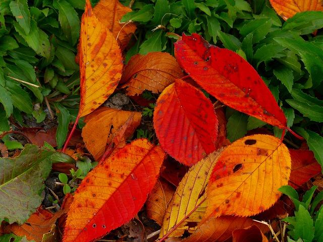 さくらの落ち葉