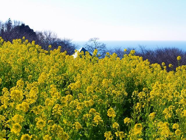 吾妻山の菜の花2