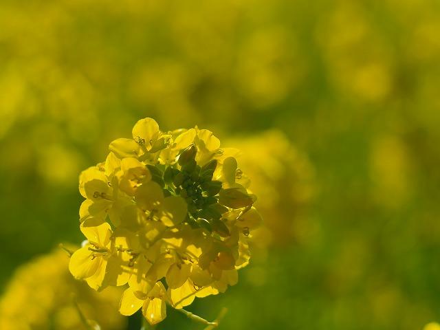 菜の花ペンタ