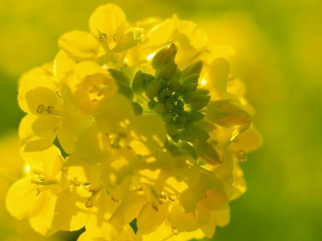菜の花ペンタコン