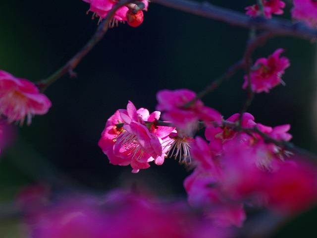 松籟園の紅梅