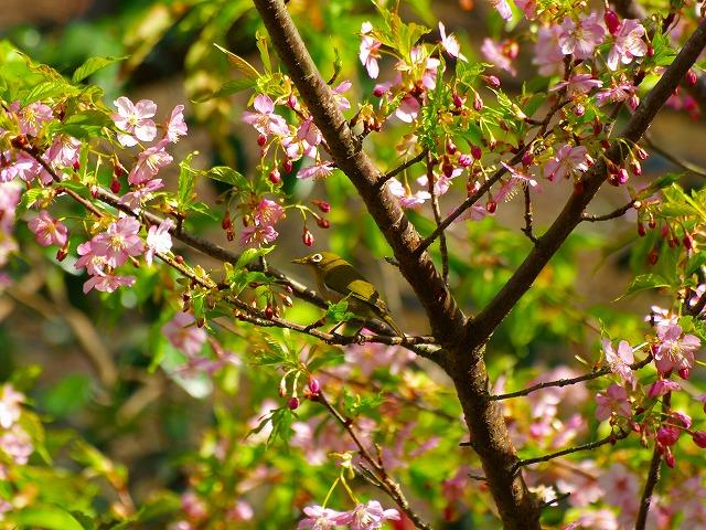 桜とめじろ