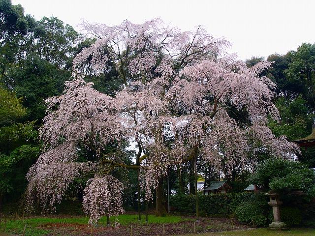 s-iyppP4056740醍醐寺のしだれ桜