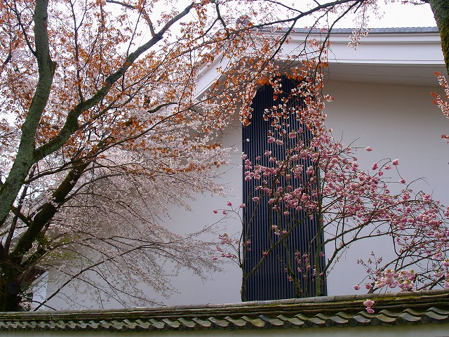 s-iyppP4056760醍醐寺の桜ー3