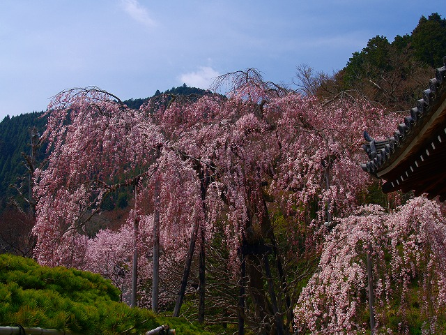 s-iyppP4056806善峰寺の桜