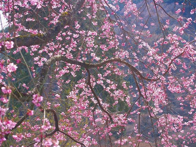 s-iyppP4056818善峰寺の桜2