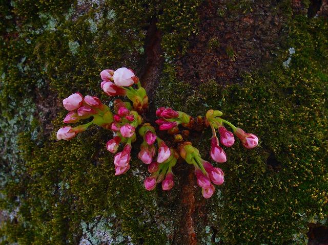 s-iyppP4056839勝持寺の桜