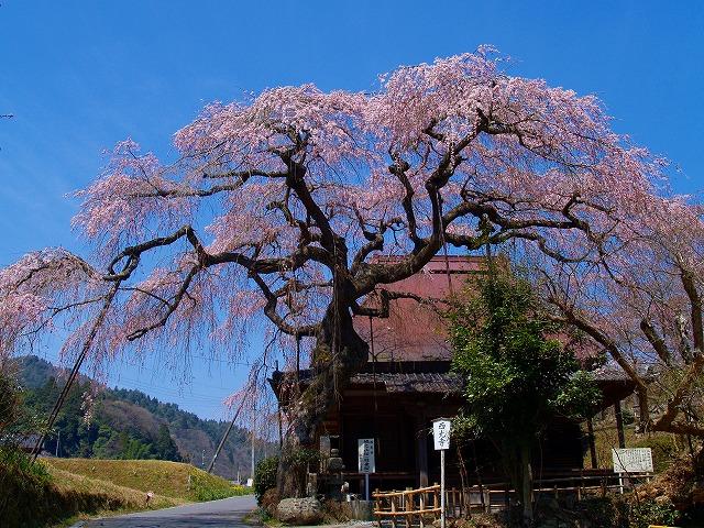 s-iyppP4067005城の山桜