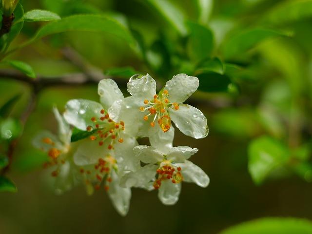s-iyppP5237820白花