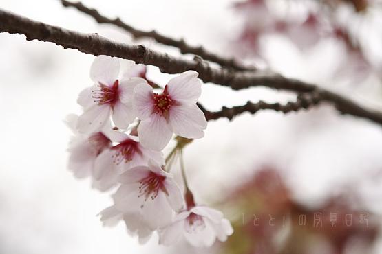 早掛沼公園桜08_1