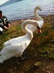 洞爺湖キャンプ:白鳥さん