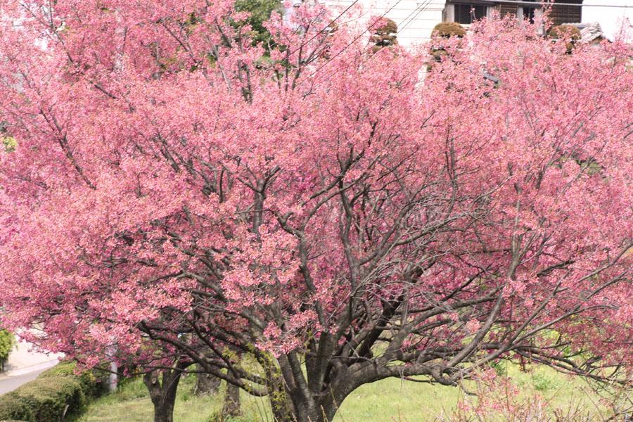 三輪の寒緋桜