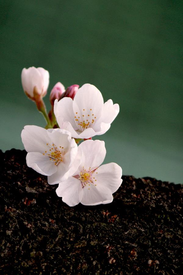 浄水場の桜