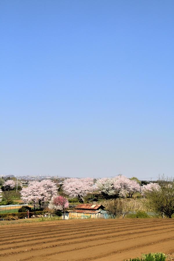 sakura風景410