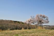 野津田公園満開03