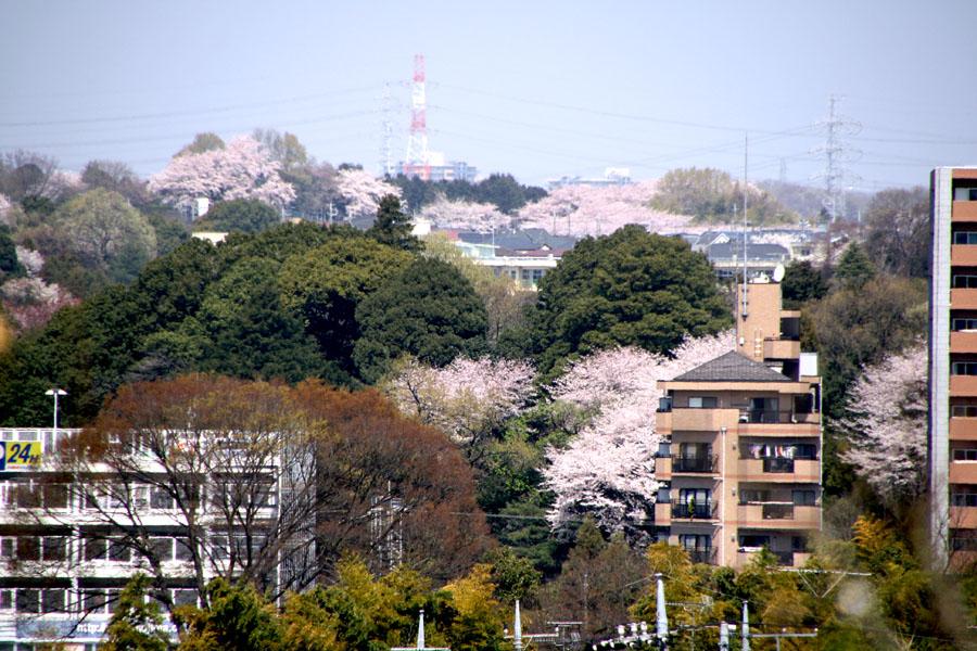sakura風景411