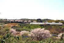 sakura風景412