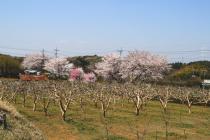 sakura風景413