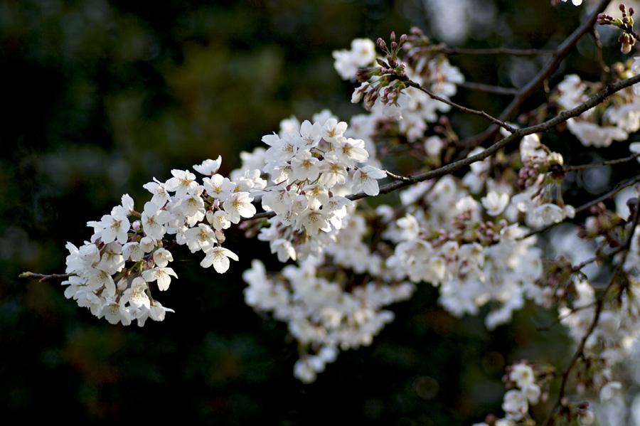 浄水場の桜30