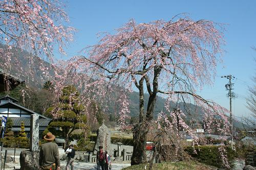 光前寺・しだれ桜