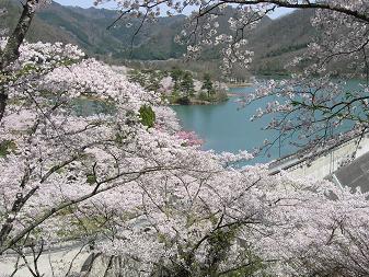 大野ダムの桜