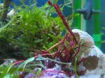 紅藻(レッドフェザー)写真
