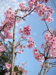ウチの桜^^