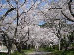2009 桜