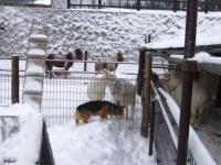 ヤギと喧嘩