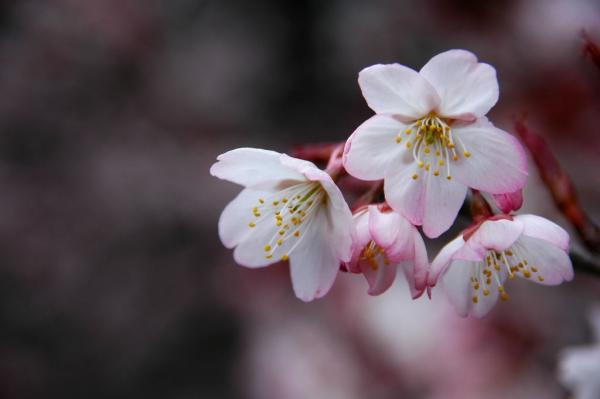 1十六日桜