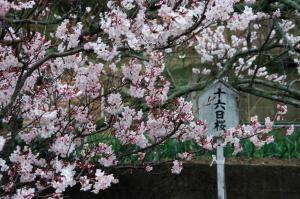 2十六日桜