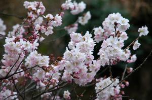 3十六日桜