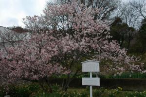 4十六日桜