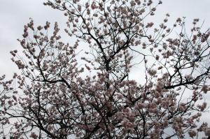 5十六日桜