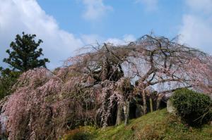 2東のしだれ桜